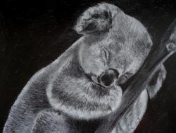 koala - crayon graphite