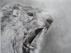 Dessin Marmotte.jpg